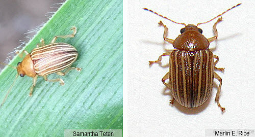 Photos showing grape colaspis adult insects.
