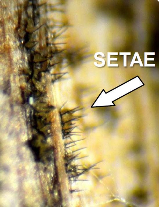 setae on stalk surface