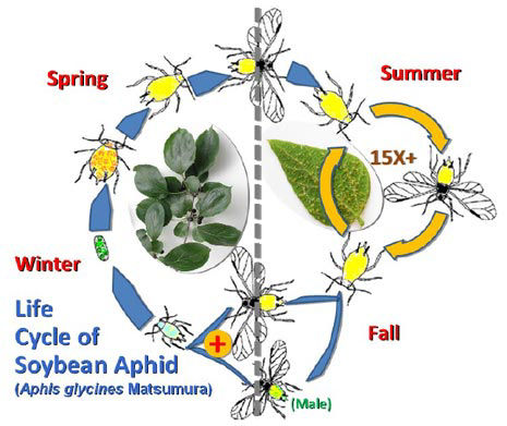 Life cycle of the soybean aphid.