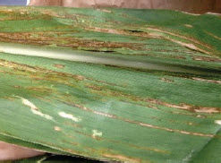 Photo showing corn leaf with bacterial leaf streak.