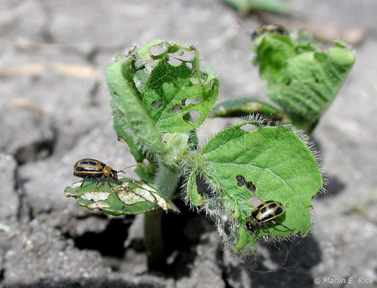 Adult bean leaf beetles feeding on soybean leaves.