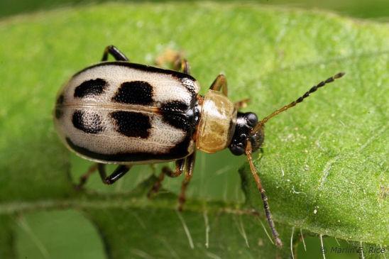 Bean leaf beetle adult