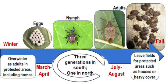 Brown Marmorated Stink Bug Life Cycle