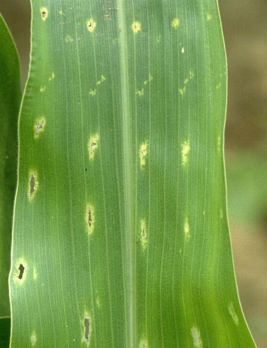 brown stink bug feeding on corn leaf