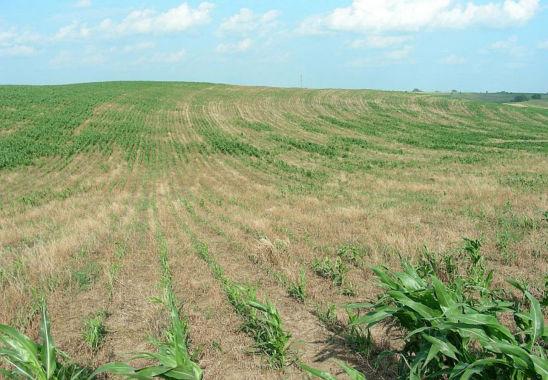 Brown stink bug damage in corn field