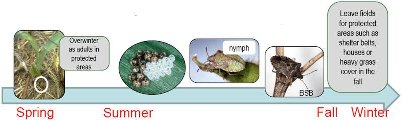 Brown stink bug annual life cycle