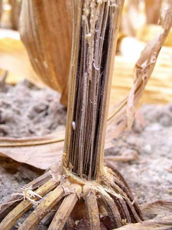 This is a photo showing damage to corn roots and stalk due to charcoal rot.
