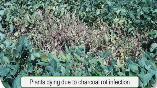 Plants dying due to charcoal rot infection