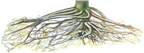 corn roots showing chemical damage symptoms