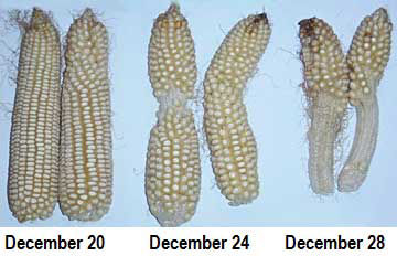 Cold chilling shock at different stages of corn ear development.