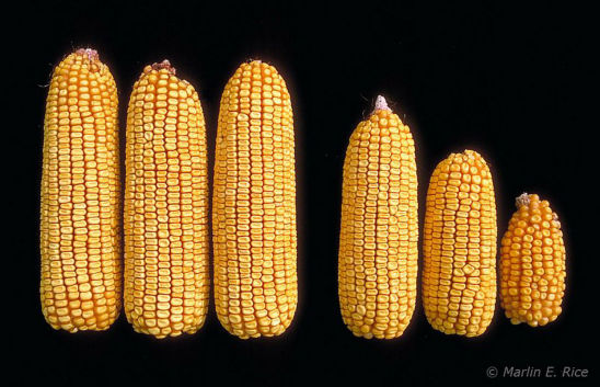 Corn ears from uninfested (left) and heavily infested (right) plants - corn leaf aphids