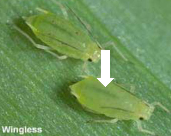 Green bugs are light green in color with a brighter stripe down the back, long cornicles with black tip, green legs and antennae.