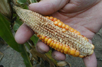 Corn ear damaged from stress during grain fill.