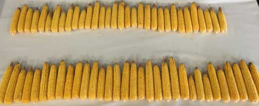 Photo comparing corn ears from plants treated and untreated with ammonium sulfate blocks (1/1000th of an acre).