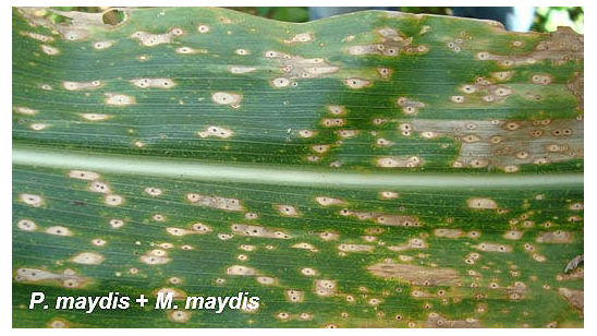 Photo of a a corn leaf demonstrating 'fish-eye' symptoms of tar spot complex.