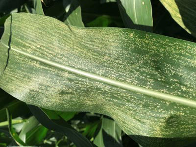 This is a closeup photo showing disease lesions on a corn leaf.