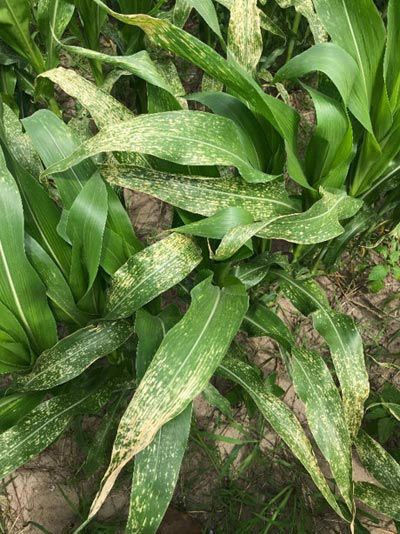 This is a closeup photo showing disease lesions on corn leaves.