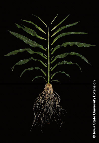 Photo showing corn plant at the V12 growth stage.