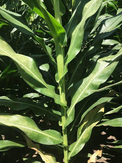 This is a photo showing a corn plant with disease lesions on its leaves.