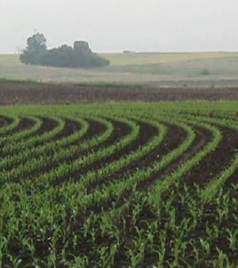 Corn field - early summer