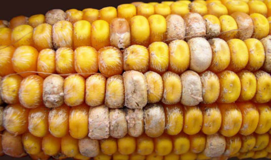 Corn ear damaged from fusarium ear rot