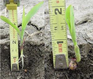 Planting depth measurements of Pioneer® brand 35F44.