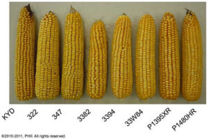 Sample ears from plots planted 12,000 ppa