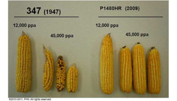 Ear size comparison of 2009 and 1947 hybrids