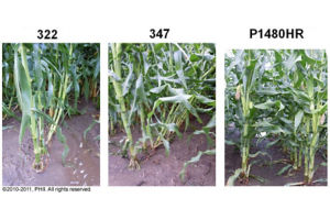 Root lodging observations on July 2