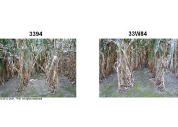 Root lodging observations on Sept. 9