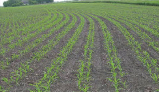 Twin-row corn