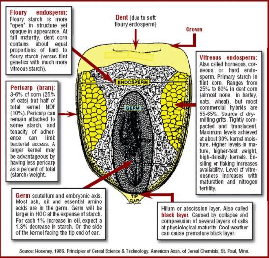Corn kernel structure
