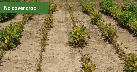 Soybean variety susceptible to iron chlorosis (95Y40) with no cover crop.