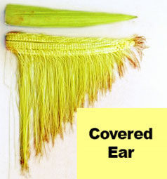 Covered corn ear (silks not exposed to pollen.)