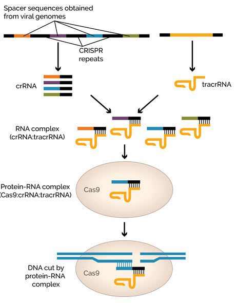 Illustration of a naturally-occurring CRISPR system.
