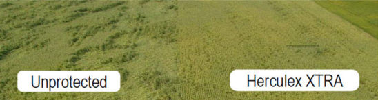 Corn field comparing effectiveness of corn rootworm protection