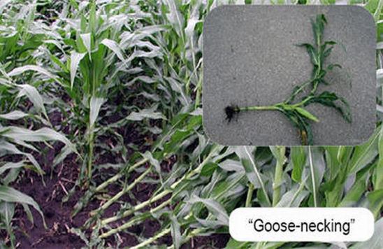goose-necking caused by corn rootworm feeding