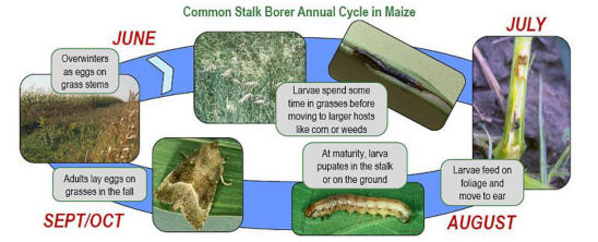 Common stalk borer annual life cycle