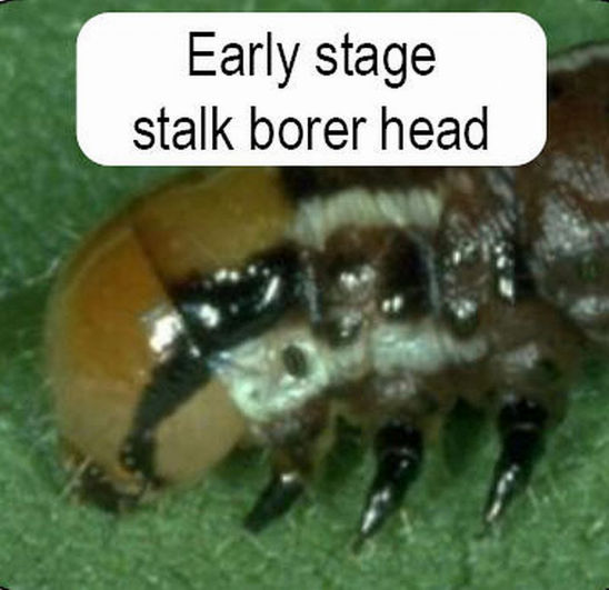 Early stage of stalk borer head