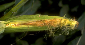 Developing corn ear damaged due to environmental stress.