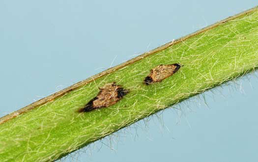 Photo showing egg scars from Dectes stem borer on a soybean stem.