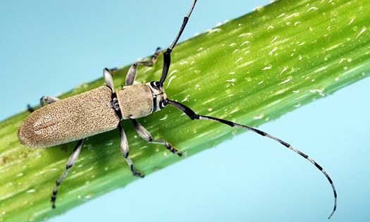 Photo showing Dectes stem borer adult.