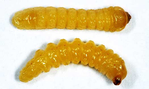 Photo showing Dectes stem borer larvae.