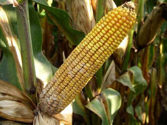 diplodia ear rot on base of corn ear