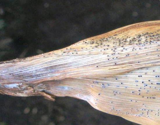 Pycnidia on corn leaf
