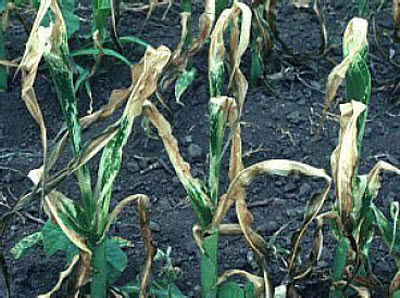 Later, damaged leaf areas will wilt and turn brown.