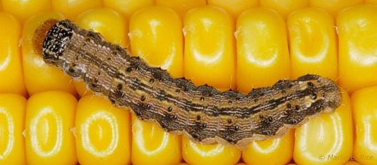 Corn earworm larva