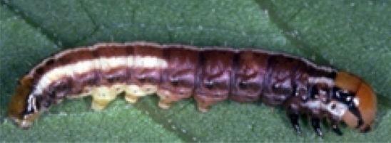 Lesser corn stalk borer larva