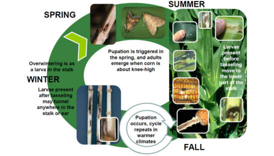 Annual life cycle of the European Corn Borer.