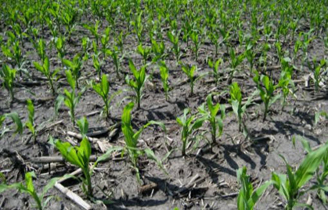 Photo of young corn plants - early spring.
